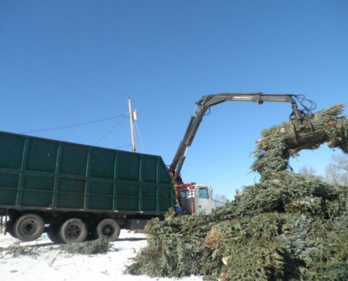 discarded Christmas trees, Scott W Bartholomew Architect